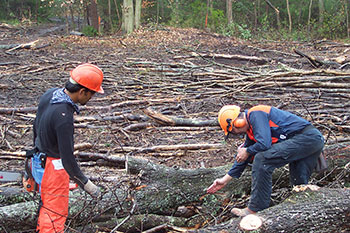 Foresters judging a fallen tree